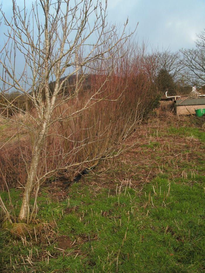 Rowan willow pre prune