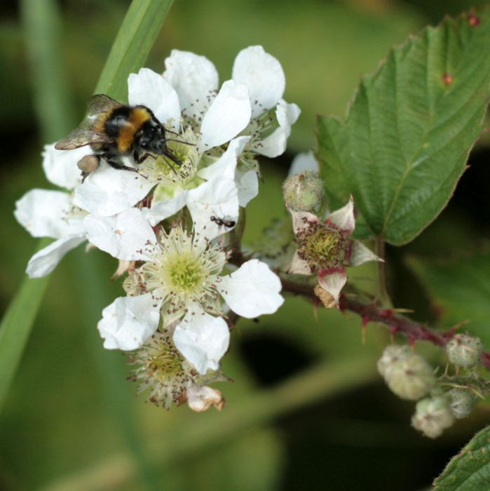Bee on blackberry flowers