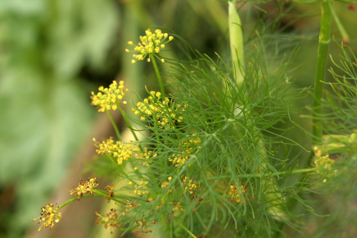 Fennel fronds and flowers