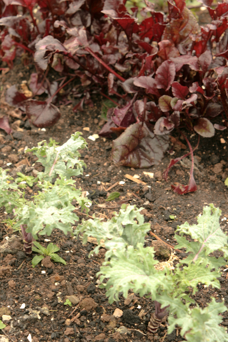 Kale and beetroot leaves