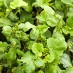 Radish leaves