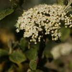 Flowers of Wayfaring Tree