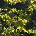 Light through small leaved lime