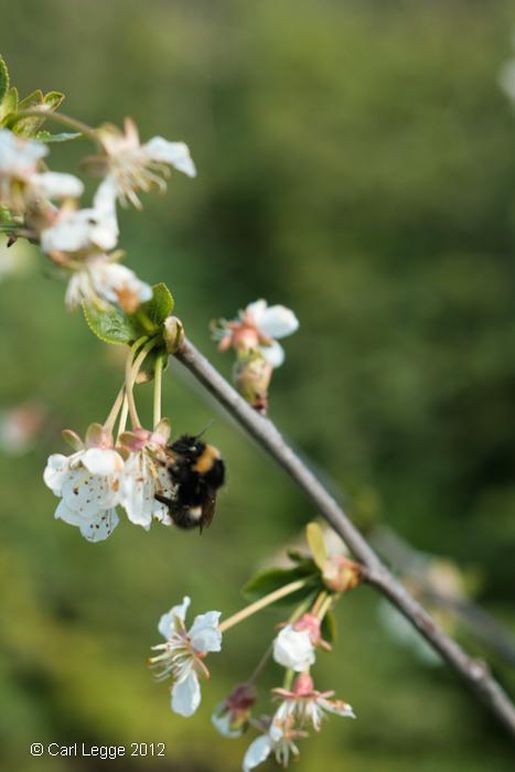 Bee on Morello cherry blossom
