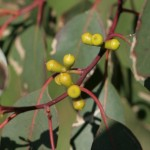 Fruits on eucalyptus