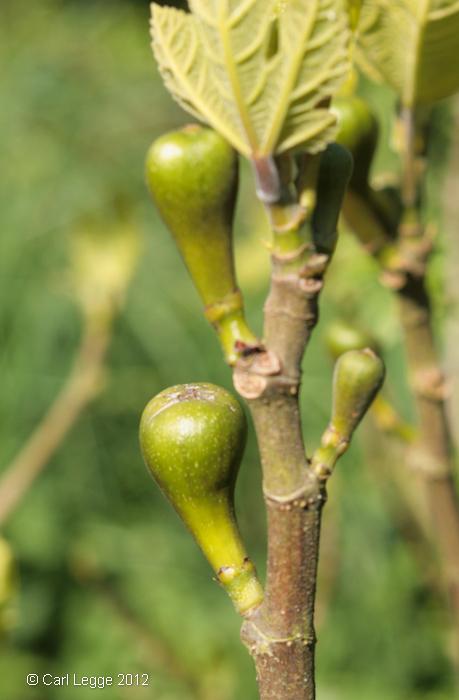Figs!