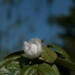 Quince 'Krymsk' flower