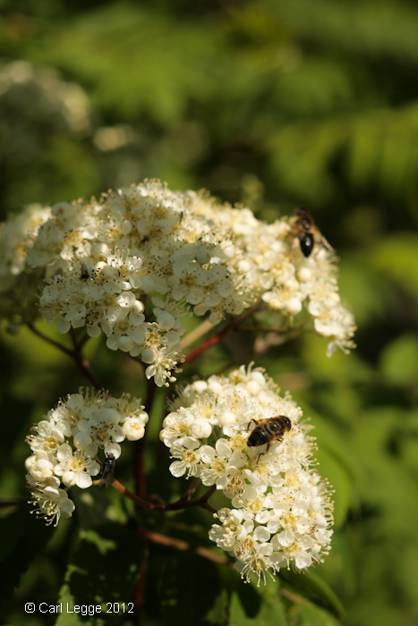 Insects on Rowan flowers