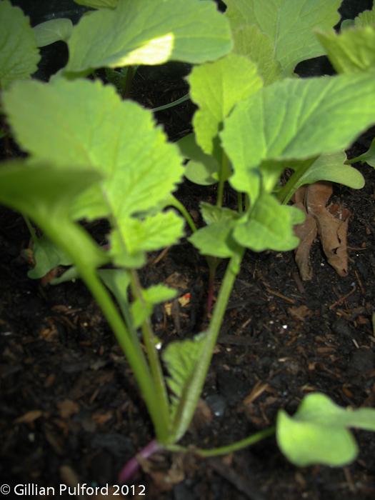 Gillian Pulford - radish seedling