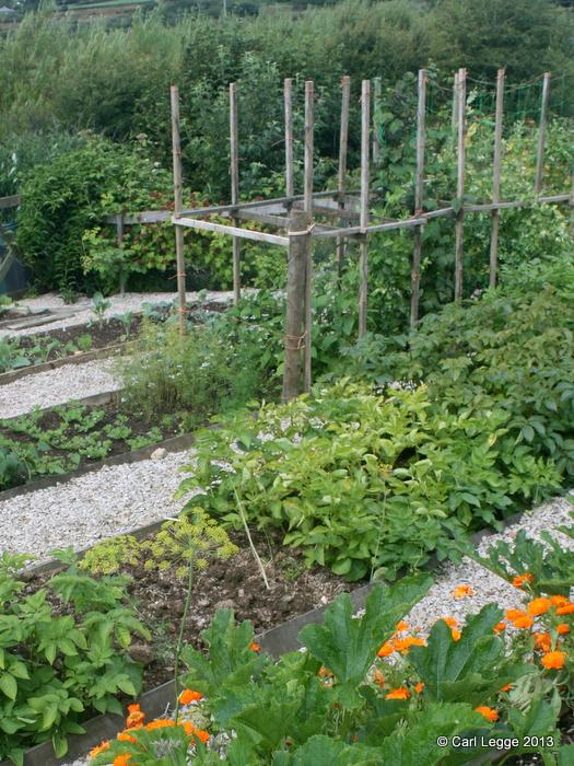 Sarpo Potatoes in our garden