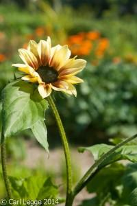 Magic Roundabout sunflower