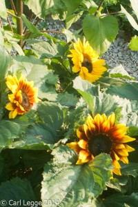Solar flash sunflowers