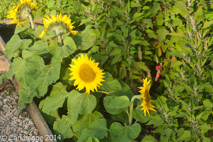 Short stuff sunflowers
