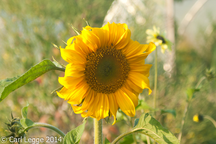 Sunflowers (2 of 6)