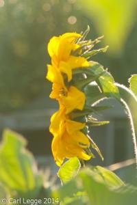 Hidatsa sunflower
